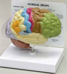 Make 3D Brain Model http://diagnostic-supplies.medical-supplies-equipment-company.com/3d-human-brain-model-665.htm